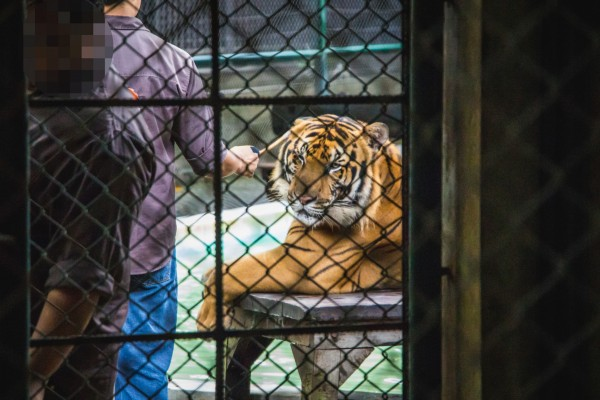 A tiger kept in a cage at a venue where tigers are mainly used as props for tourist photos.