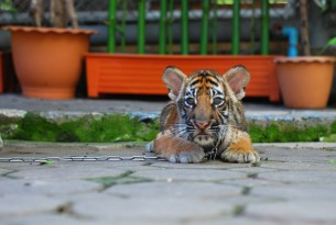 A tiger cub kept on a chain is used as a prob for photographs with tourists at an attraction in Bangkok, Thailand