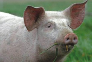 Pig grazing - World Animal Protection