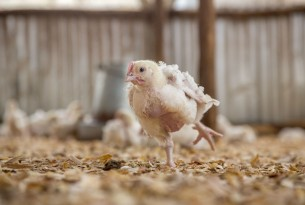 9 day old broiler (meat) chickens in an indoor, deep-litter system typical of independent farms in East Africa.