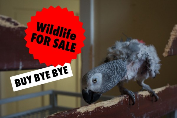 African grey parrot - Wildlife. Not pets - World Animal Protection
