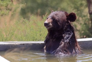 A bear relaxing in one of the pools at the Libearty Sanctuary.