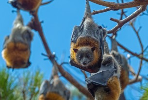 Australian flying-fox - Rene Riegal