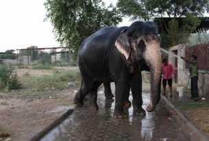 A day in the life of Rani, a working elephant