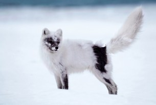 An arctic fox standing in the snow.