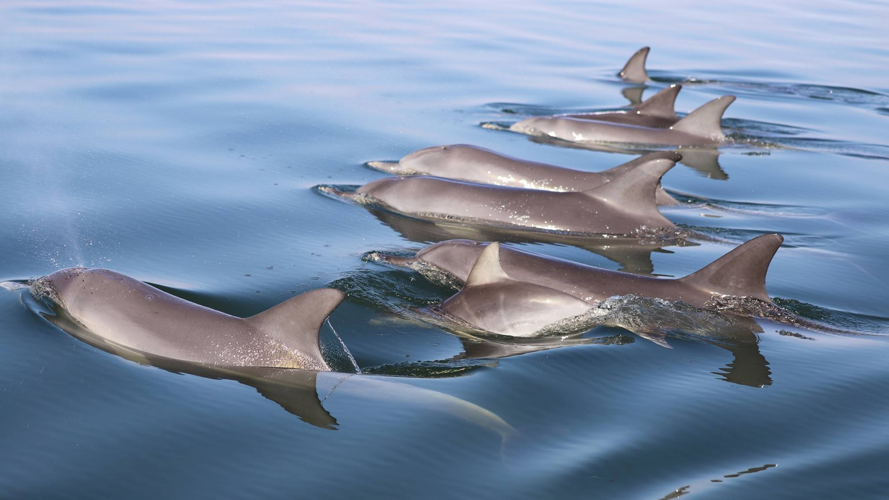 A pod of wild dolphins swimming in Mandurah, Western Australia.