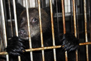 China ready to phase out bear bile industry