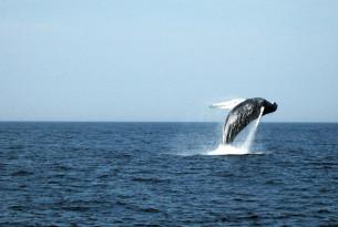 A humpback whale breaching