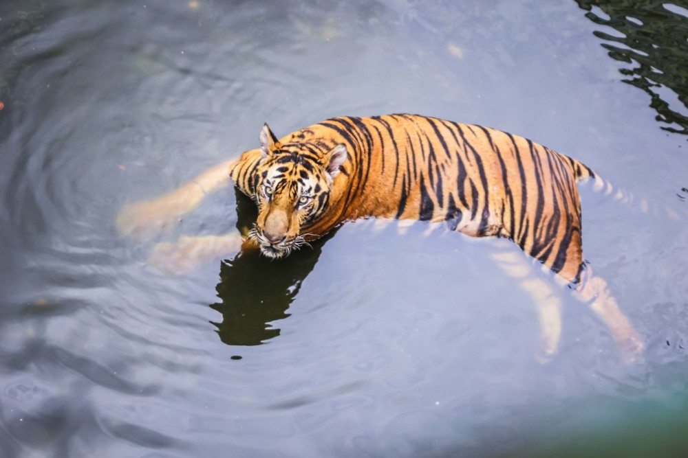 Tiger swimming in pond at entertainment venue