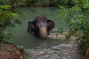 Jahn, a 32-year-old female elephant, in the water at Eco-tourism Koh Lanta