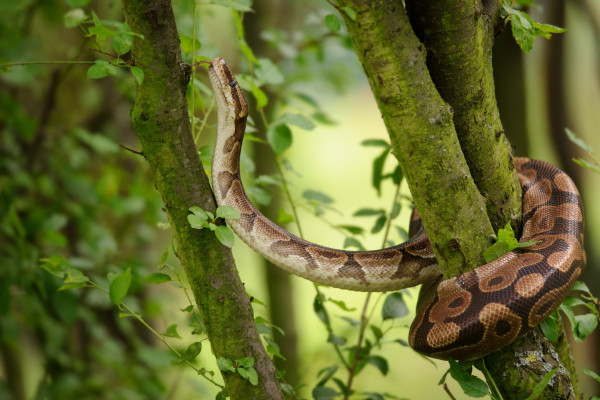 A ball python in the wild