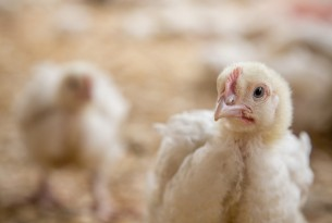Perdue announces significant new animal welfare commitment for chickens