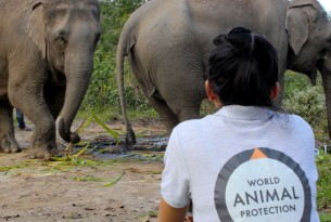 World Animal Protection are working with Happy Elephant Valley to transition their current camp to a high welfare, elephant friendly, venue where elephants will have the freedom to be elephants instead of entertainers. Credit Line: World Animal Protection