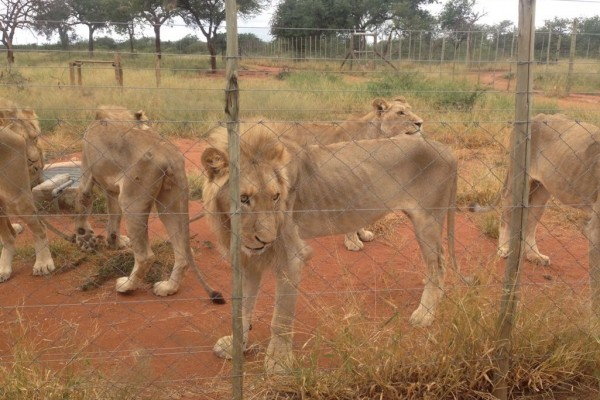 Emaciated lion in South Africa - image by EMS Foundation