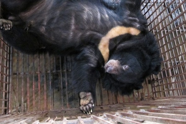 Hanoi bear breaks free of the bear bile industry
