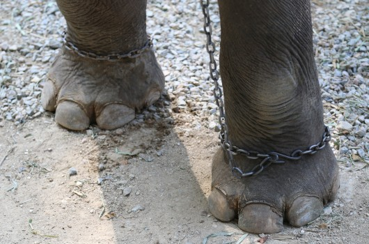An elephant in chains