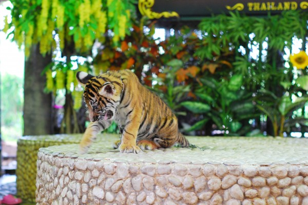 A Tiger cub in Thailand where 'tiger selfies' are growing in popularity