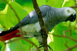 An African grey parrot perched on a tree branch in Uganda