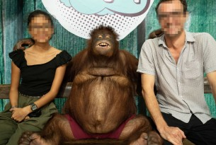 Orangutan in a cruel attraction