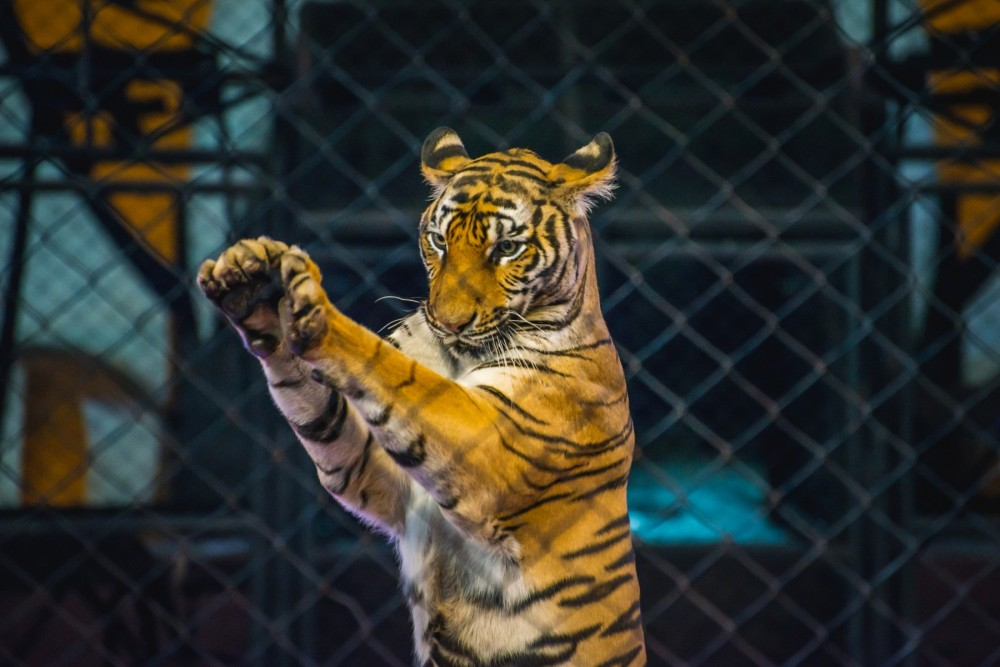 A captive tiger behind a fence
