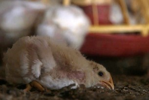 A small chick face down on the ground in a factory farming system