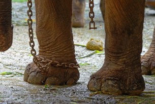 An elephant is chained up - World Animal Protection - Wildlife. Not entertainers