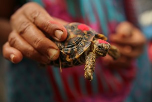 Illegal trade of Indian Star Tortoises