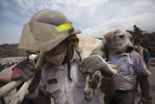 A volunteer firefighter rescues a dog from the disaster zone near the Volcan de Fuego. Photo: AP Photo/Moises Castillo