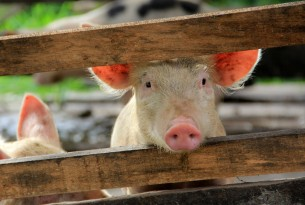Pig behind a fence in Mexico - World Animal Protection - pig sentience