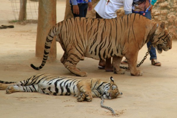 A tiger at the old tiger temple tourist attraction - Wildlife. Not entertainers - World Animal Protection