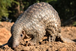 A wild pangolin stands on the dry ground. Its scales are shining in the sunlight.