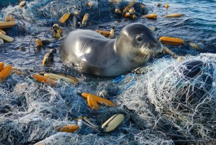 a seal caught in ghost gear