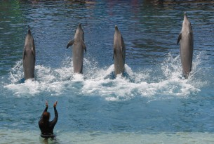 Dolphins in entertainment at Sea World, Australia.