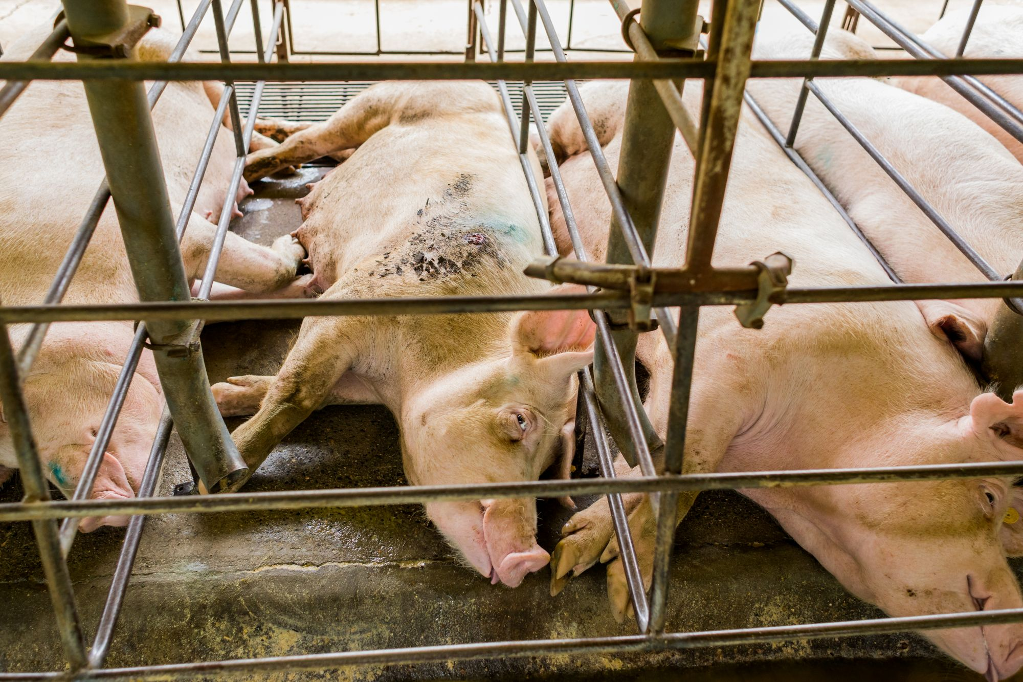 Pig suffering on factory farm
