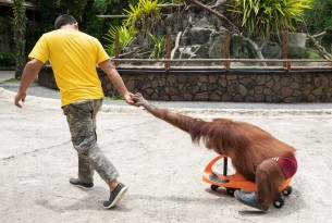 An orangutan being used for selfie opportunities at Avilon, in the Philippines - Wildlife. Not entertainers - World Animal Protection