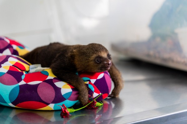 Baby female sloth brought to CETAS - World Animal Protection