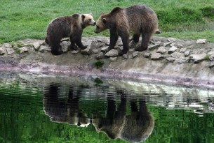 Two bears by a pool