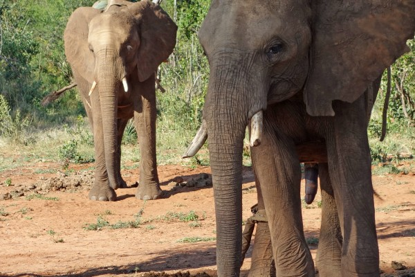 Chained elephants in South Africa