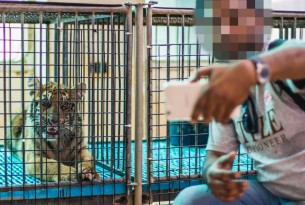 Tourist taking a selfie with a caged tiger cub - World Animal Protection - Wildlife. Not entertainers