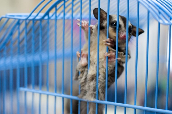 A sugar glider clings to a blue cage