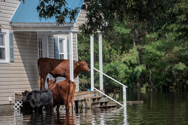 Hurricane Florence - Cows