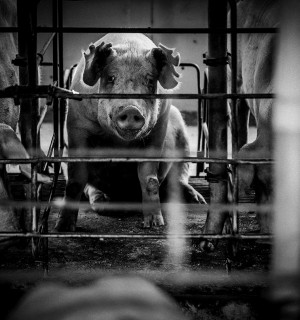 Mother pig in cage. World Animal Protection.