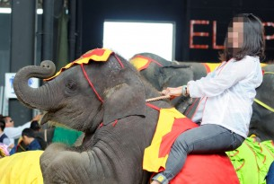 Elephant performing and being ridden at tourist attraction