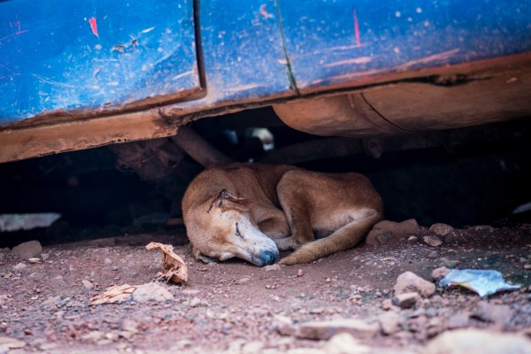 A community dog seeks shade under a car in Sierra Leone, where World Animal Protection's partner group Sierra Leone Animal Welfare Society (SLAWS) began a campaign of rabies vaccinations in Freetown.. Credit Line: World Animal Protection / Michael Duff