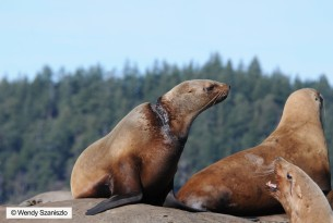 Four questions with a pinniped disentanglement expert in British Columbia