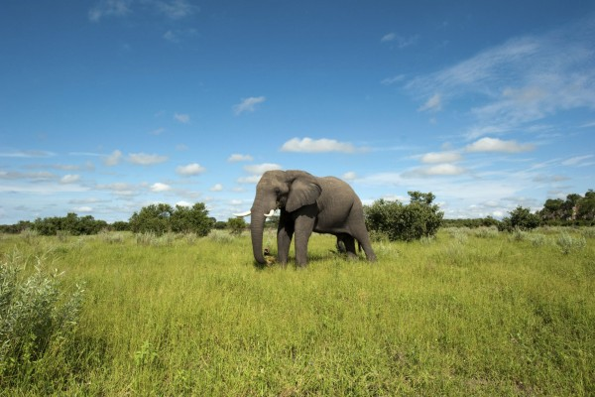 An elephant in Chobe National Park, Botswana