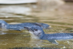 Little Blue Penguin in New Zealand