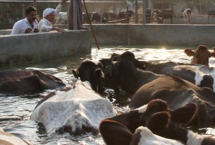 India dairy cow