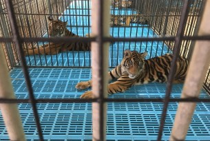 Tigers used for entertainment trapped in barren cages, Thailand