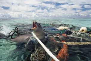 Hawaiian monk seal is caught in abandoned fishing tackle off the Kure Atoll, Pacific Ocean.